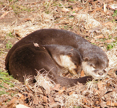 otters_sleeping2_credit_sarahstierch_on_flickr.jpg